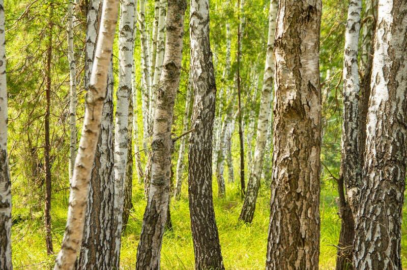 Роща под солнечным светом - естественный ландшафт березы стоковые изображения