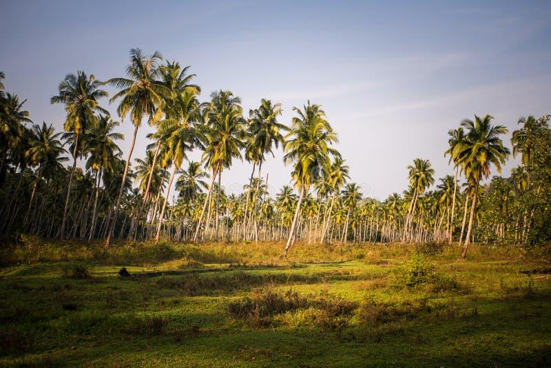 Роща предпосылки голубого неба лужайки травы ладони кокоса стоковое изображение rf