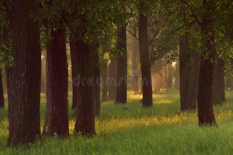 Роща дуба стоковое фото