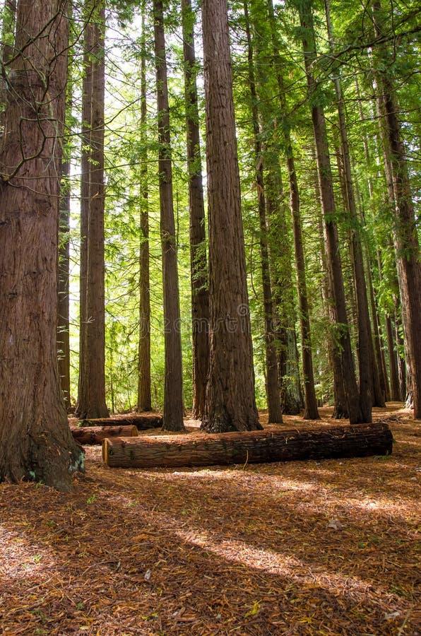 Роща Redwood в веснах Hamurana стоковое фото