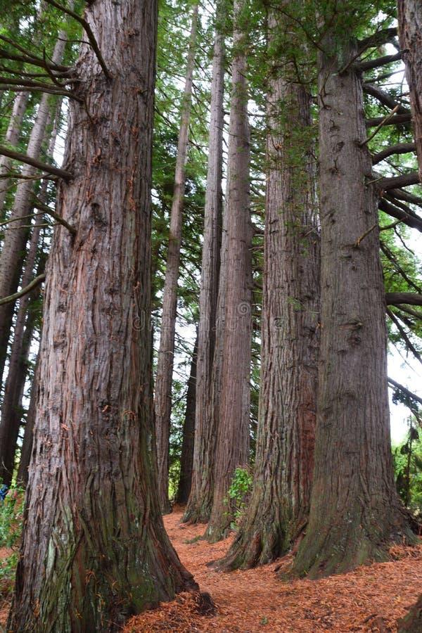 Роща Redwood на веснах Hamurana стоковое фото rf