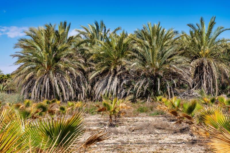 Рощи ладони, Palmeral в Elche около Аликанте в Испании стоковые фото