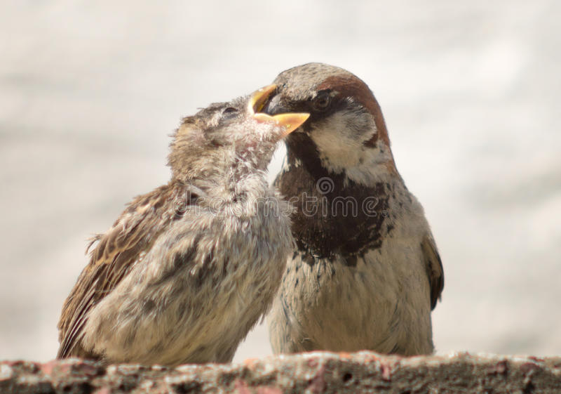Родительские питания воробья стоковое фото rf