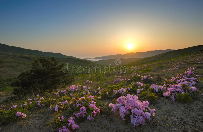 Рододендрон зацветая на побережье на заходе солнца стоковая фотография