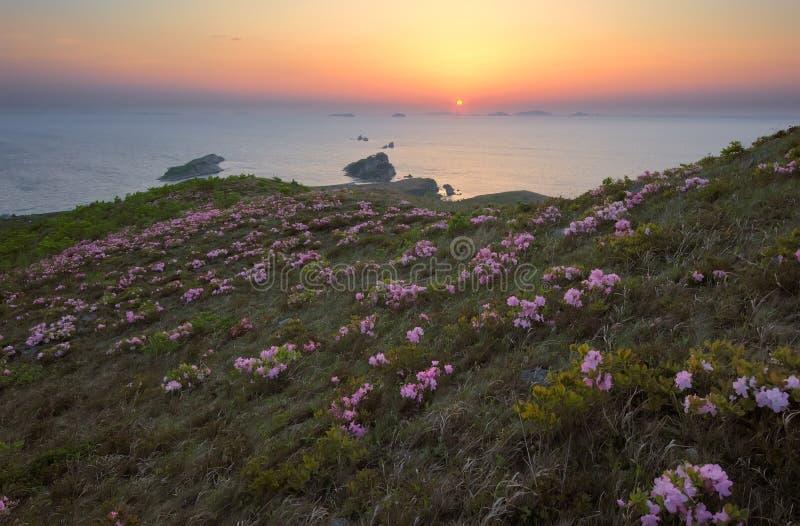 Рододендрон зацветая на побережье на зоре стоковое изображение
