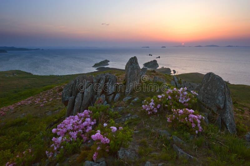 Рододендрон зацветая на побережье на зоре стоковое изображение rf