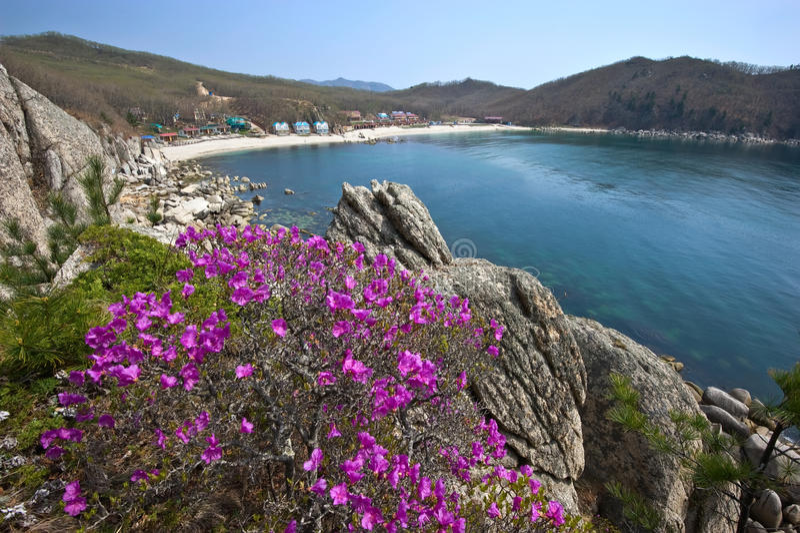 Рододендрон зацветая на побережье стоковые фотографии rf