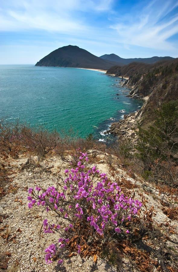 Рододендрон зацветая на побережье стоковые фото