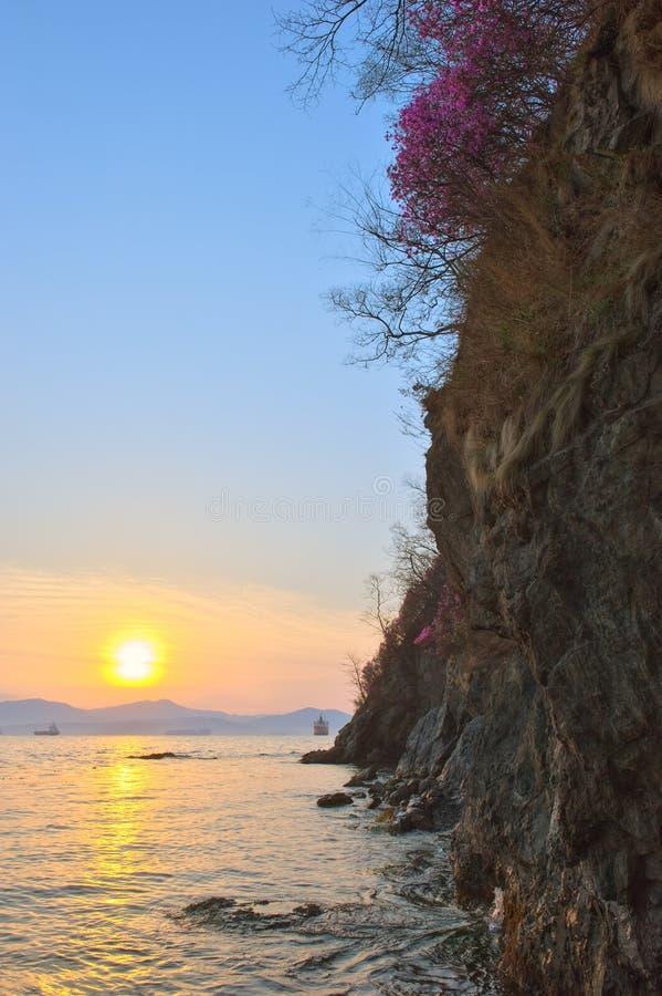 Рододендрон зацветая на утесах в раннем утре стоковые фотографии rf