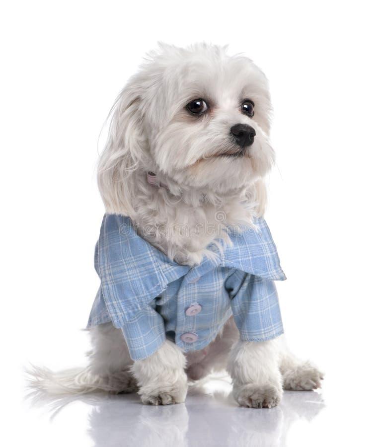 рубашка 17 одетьнная собакой мальтийсных месяцев старая вверх стоковое фото rf