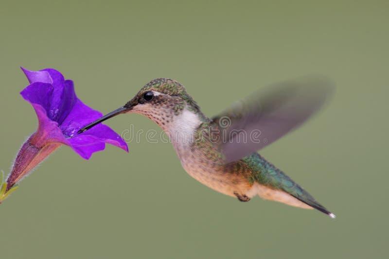 рубин hummingbird throated стоковое фото rf