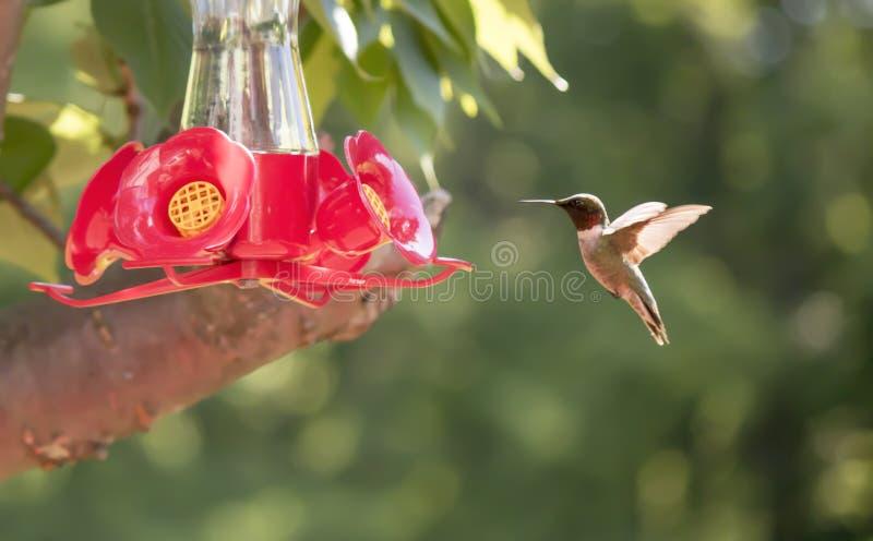 Рубин-Throated колибри в солнечности стоковые фотографии rf