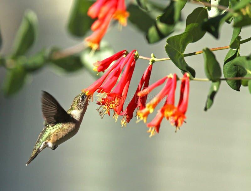Рубин-Throated колибри стоковое изображение rf