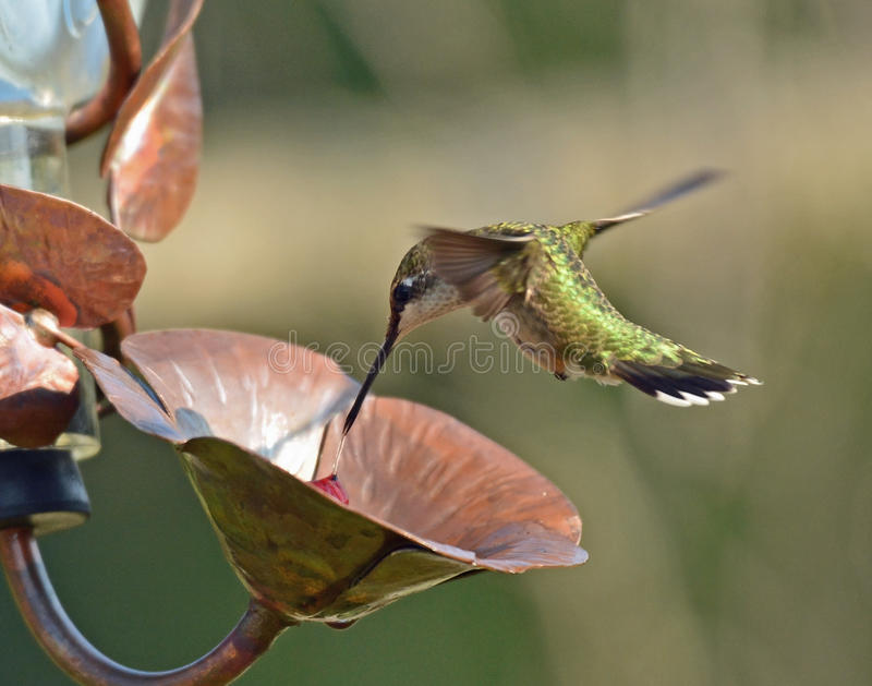 Рубин-Throated полет колибри на фидер стоковое фото