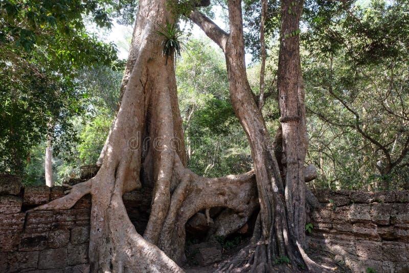 Руины старинных зданий, поглощенные джунглями Огромные корни Tetrameles дерева Античная каменная кладка в джунглях стоковое изображение