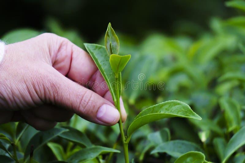 Рука держите чайные листья серген чай задняя груня стоковое фото