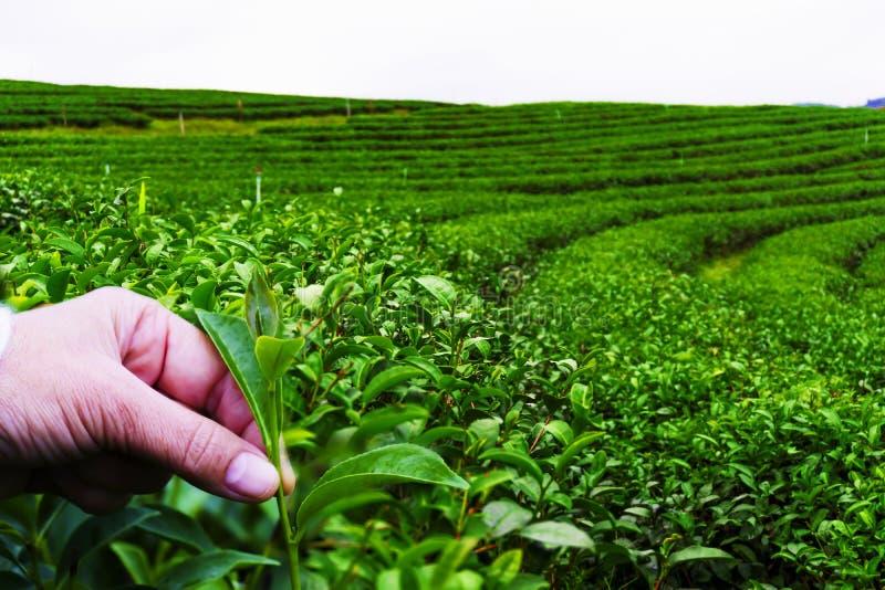 Рука чайные листья на плантации стоковая фотография