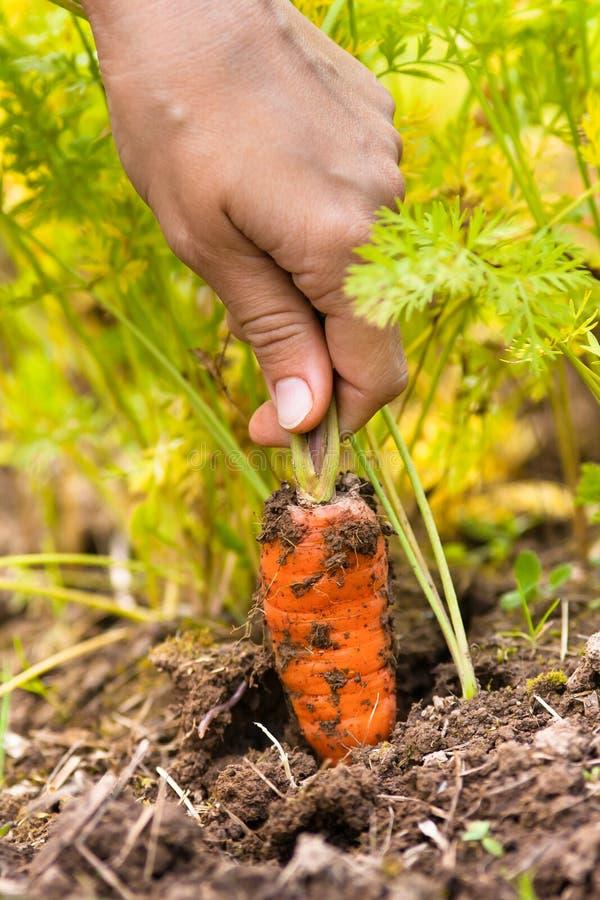 Рука вытягивая морковь в огороде стоковые изображения