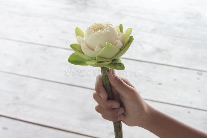 Рука держа белый лотос складывая лепестки стоковое изображение rf