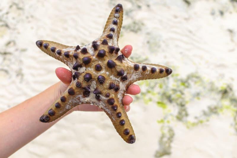 Рука держа большую морскую звёзду стоковые фотографии rf