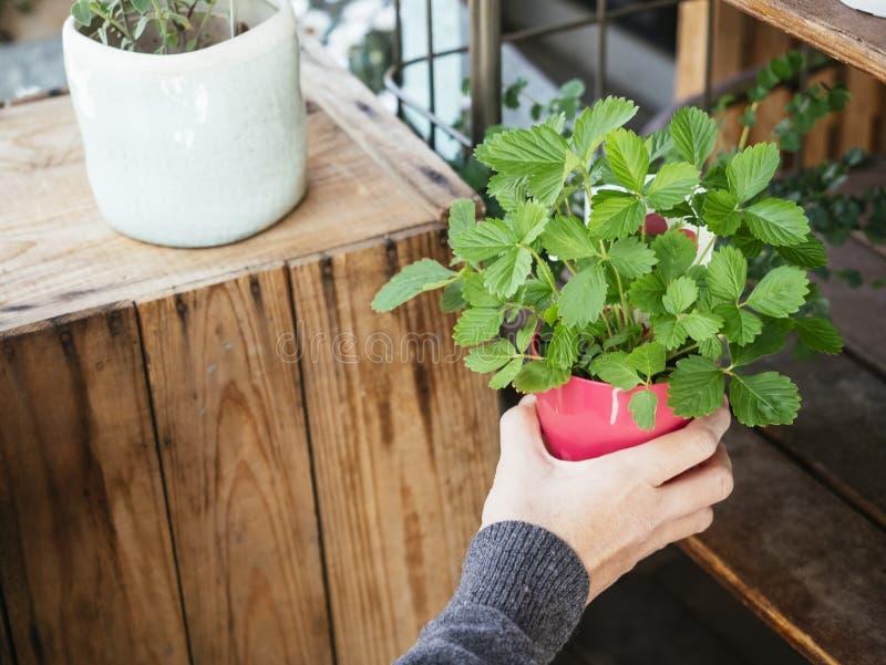 Рука держа сад дома бака зеленого растения красный стоковое изображение rf