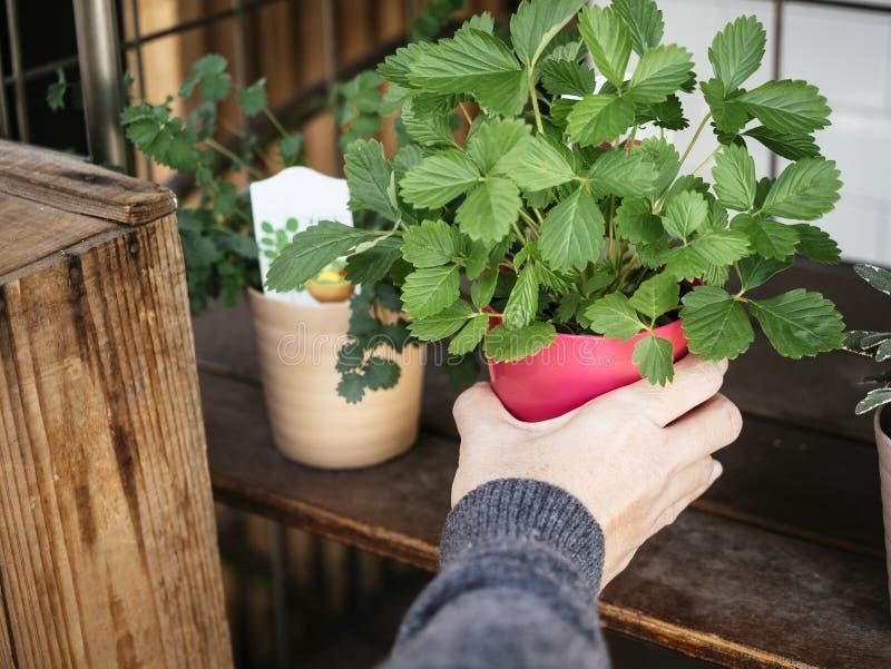 Рука держа сад дома бака зеленого растения красный стоковое изображение