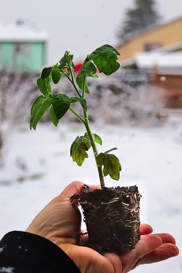 Рука держа саженец томата со снежной предпосылкой стоковые фото