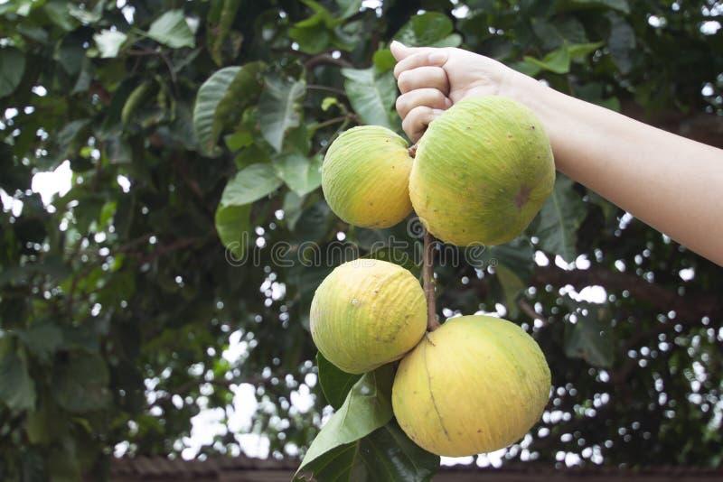 Рука держа koetjape Sandoricum зрелый плод Santol или Sentul на предпосылке природы стоковые фото