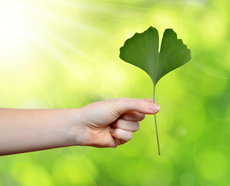 Рука держа лист biloba гинкго стоковая фотография