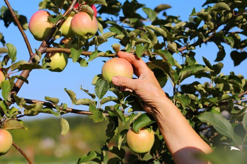 Рука женщины выбирая зрелое Яблоко от яблони стоковые изображения rf