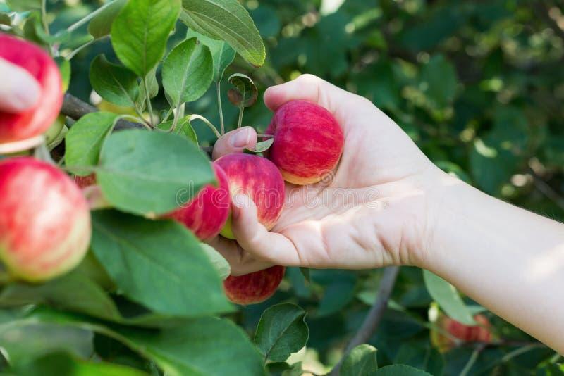 Рука женщины выбирая красное зрелое яблоко от яблони стоковая фотография rf