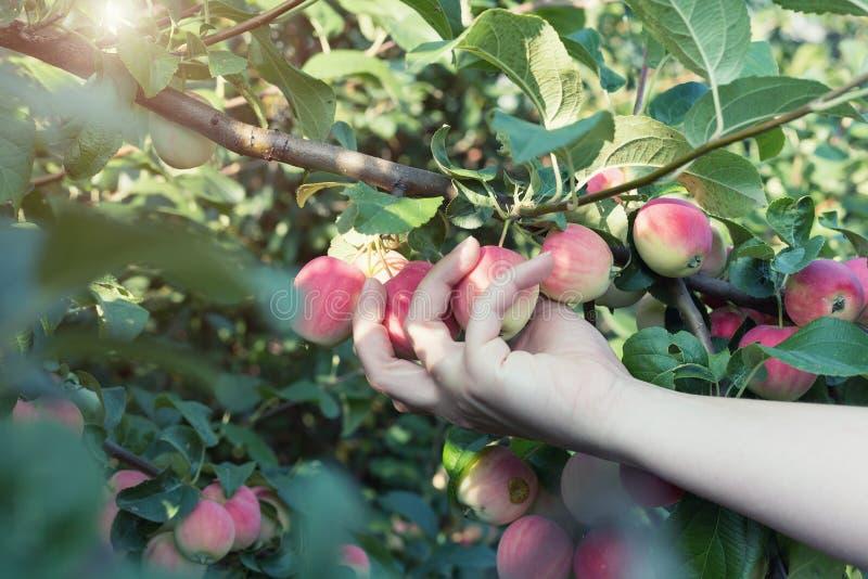Рука женщины выбирая красное зрелое яблоко от яблони стоковое фото