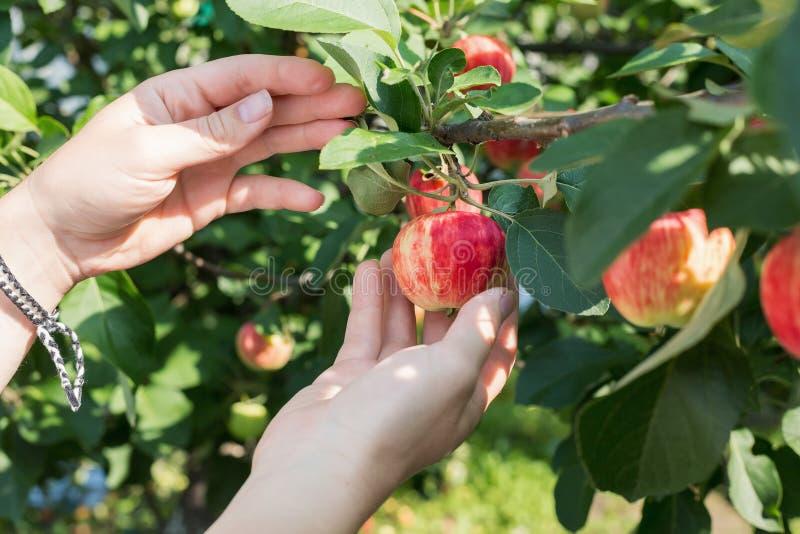 Рука женщины выбирая красное зрелое яблоко от яблони стоковое фото rf