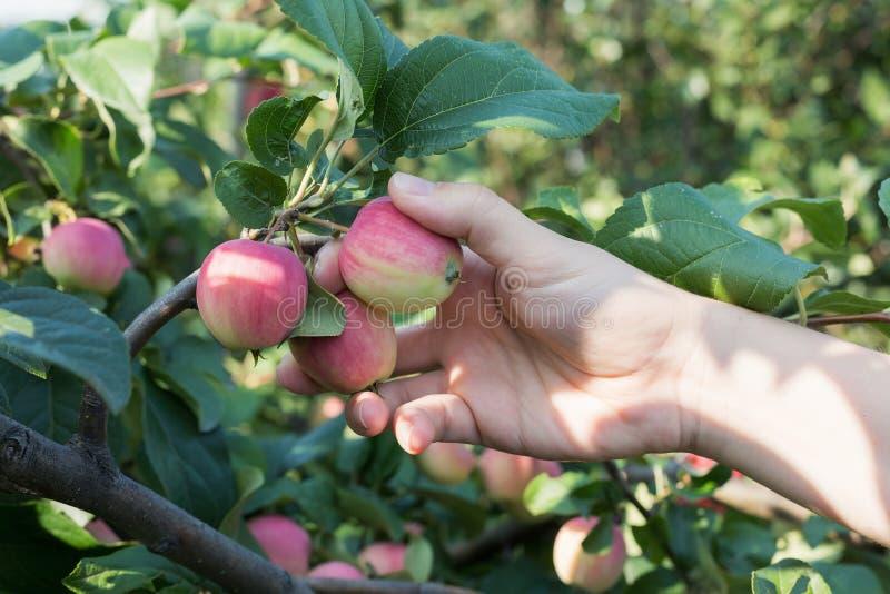 Рука женщины выбирая красное зрелое яблоко от яблони стоковое изображение rf