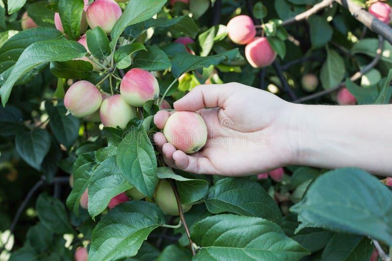 Рука женщины выбирая красное зрелое яблоко от яблони стоковые изображения