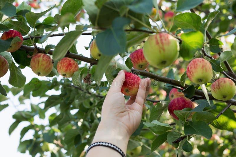 Рука женщины выбирая красное зрелое яблоко от яблони стоковые изображения rf