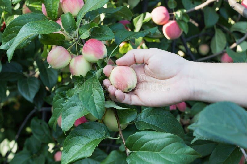 Рука женщины выбирая красное зрелое яблоко от яблони стоковые фото