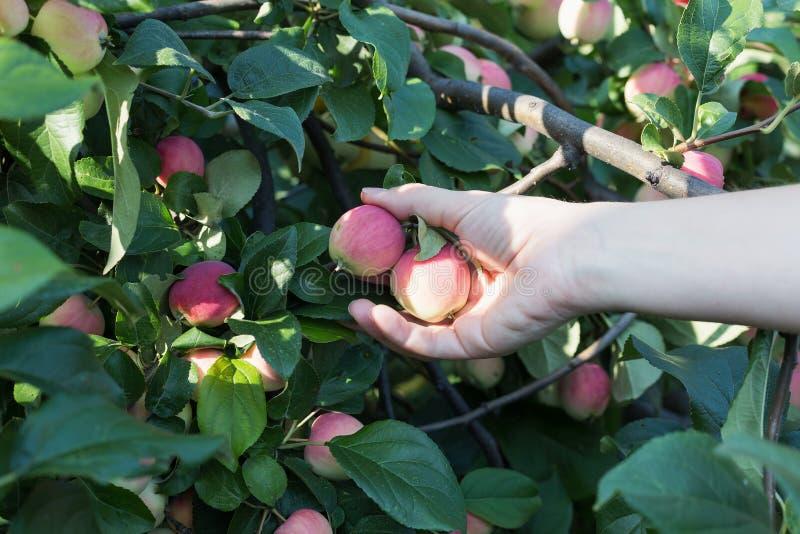 Рука женщины выбирая красное зрелое яблоко от яблони стоковые фотографии rf