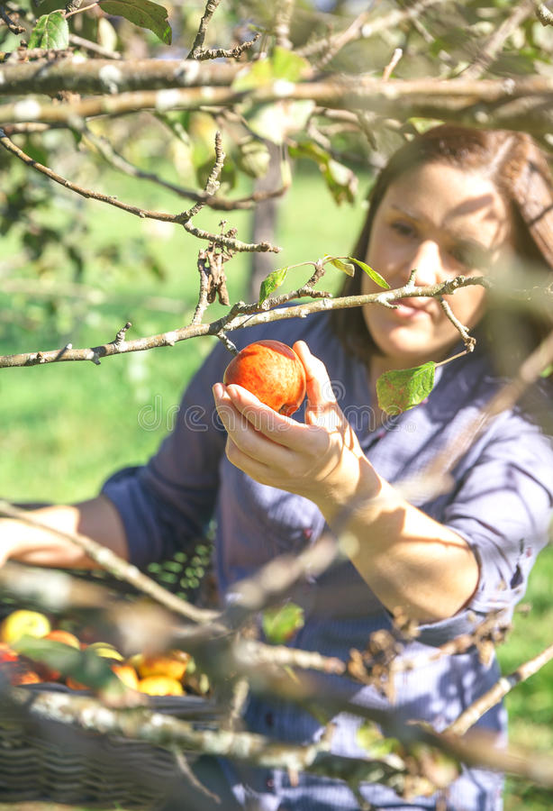 Рука женщины выбирая красное яблоко от дерева стоковые изображения