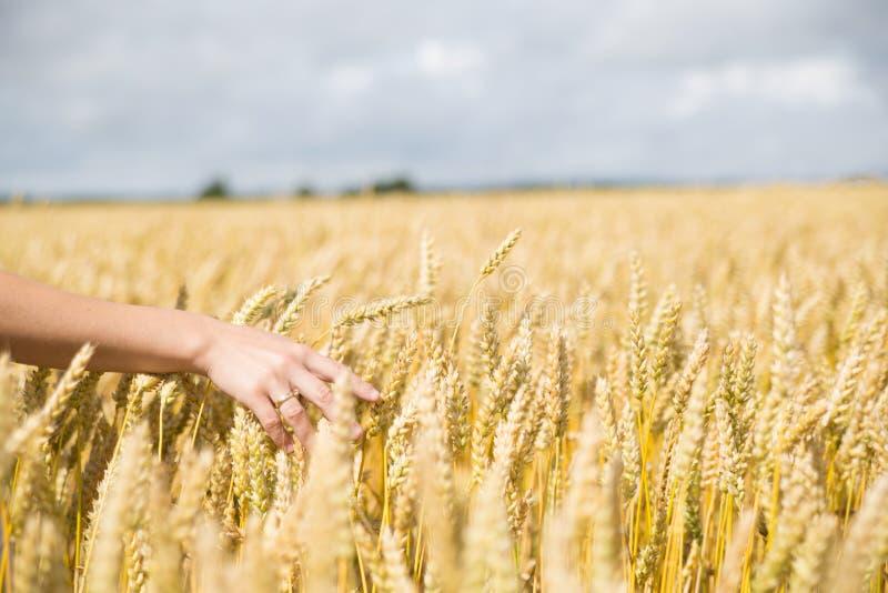 Рука женщины в пшеничном поле стоковое фото rf