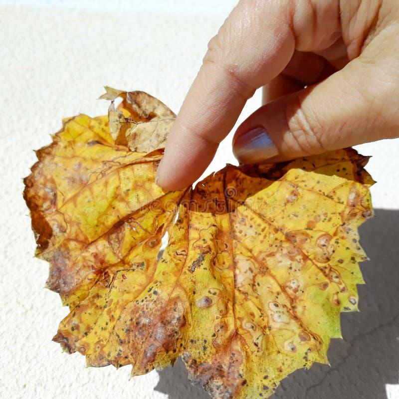 Рука женщины держа ржавые лист осени стоковые изображения