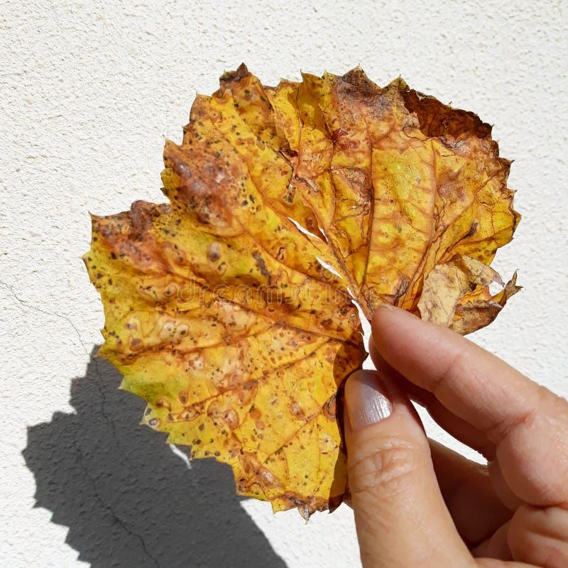 Рука женщины держа ржавые лист осени стоковое фото