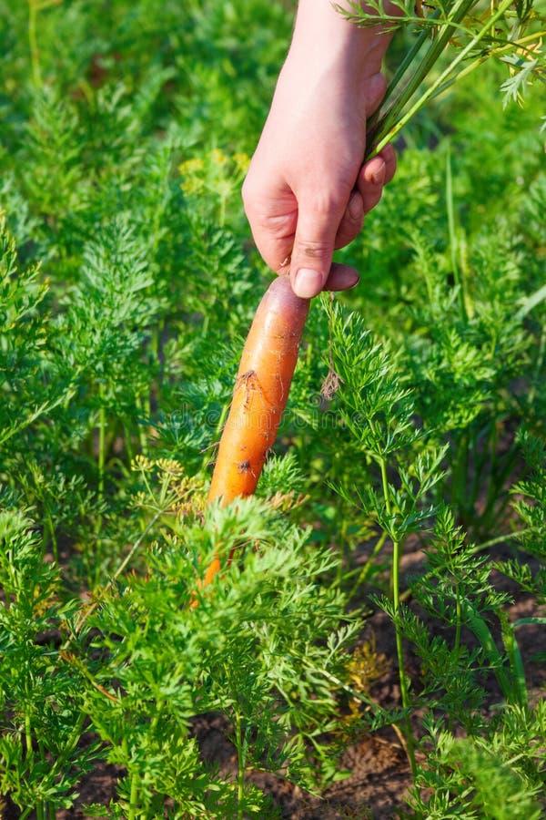 Рука женщины фермера волочит морковей от сада, жать стоковые фото