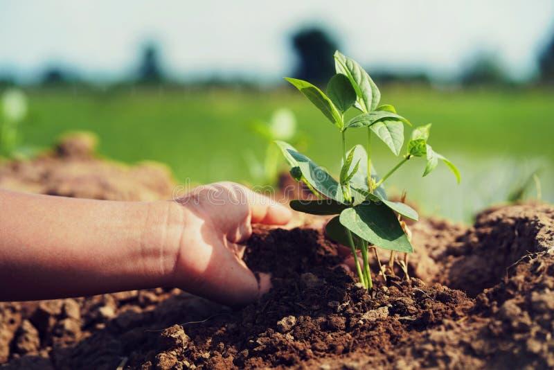 рука засаживая сою в саде стоковые фото