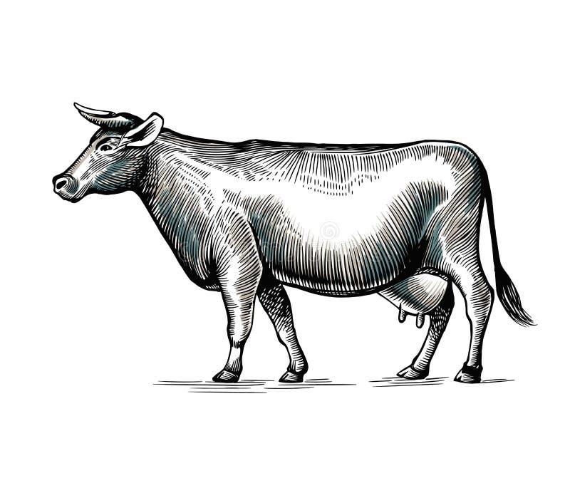 Рука коровы нарисованная в элегантном винтажном стиле гравировки или вытравливания Домашнее животное изолированное на белой предп иллюстрация штока