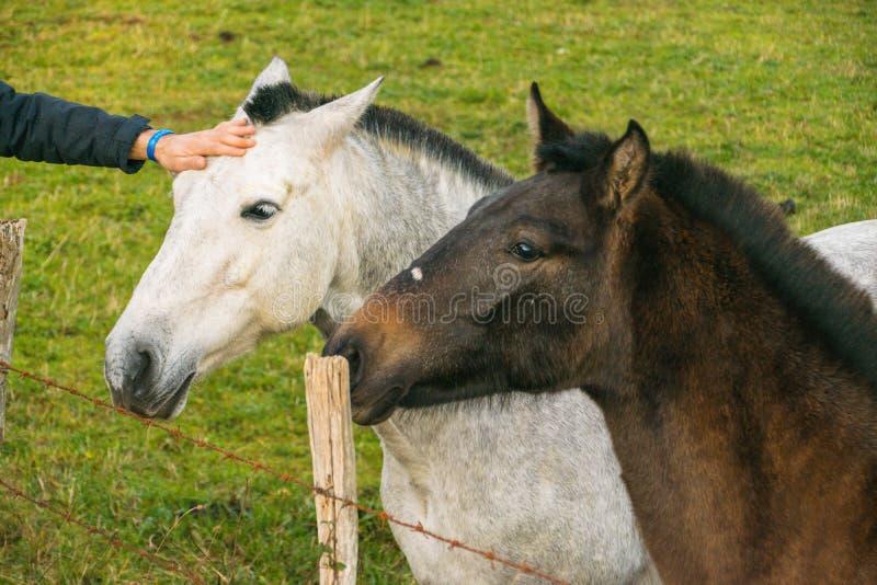 Рука лаская 2 лошадей стоковое фото rf