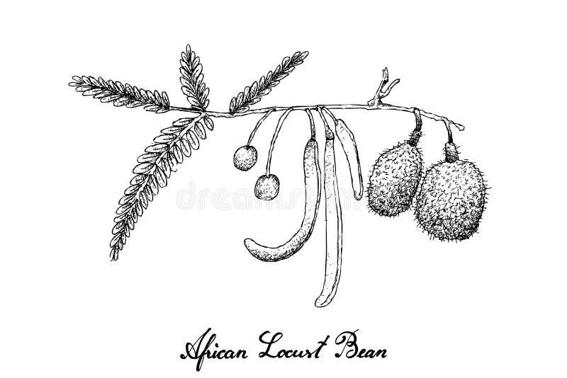 Рука нарисованная африканской фасоли саранчи на белой предпосылке иллюстрация вектора