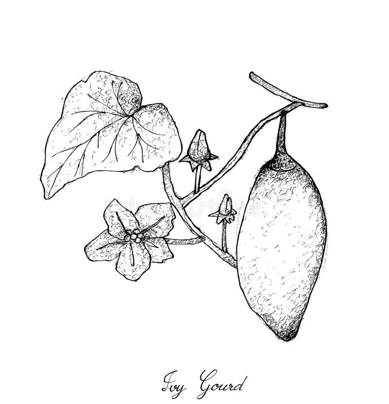 Рука нарисованная плодоовощей Grandis Coccinia или тыквы плюща бесплатная иллюстрация