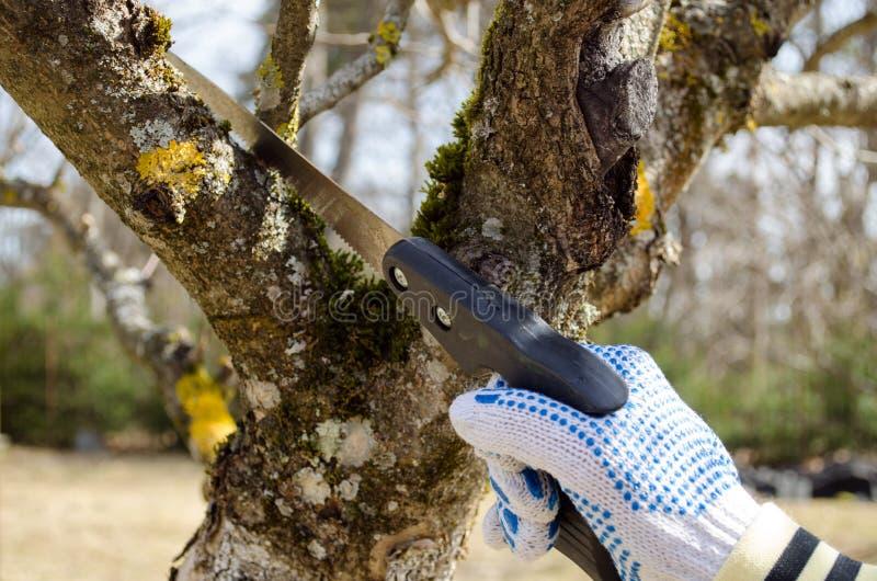 Рука отрезала весну ручной пилы ветви фруктового дерев дерева отделки стоковая фотография rf
