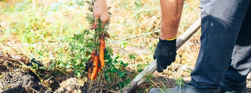 Рука пожилого человека вытягивая экологически, который выросли морковей от сада Малая глубина фокуса Культура концепции агро знам стоковое изображение